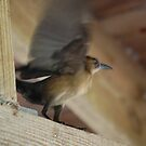 Grackle flapping her wings by nauticalelf