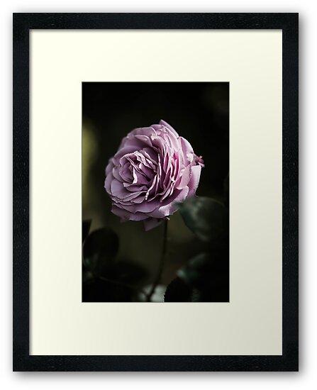 A Single Rose by ocrutchfield