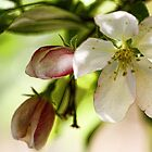 Crab-Apple Blossoms  by T.J. Martin