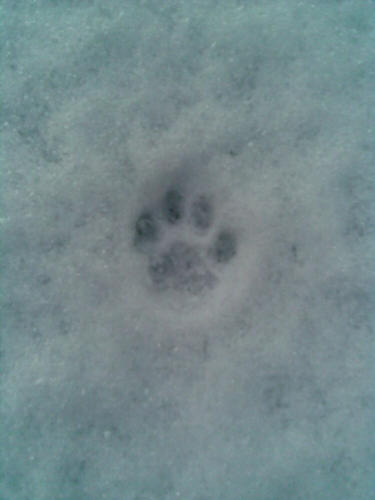 Paw print in the snow by pixiealice
