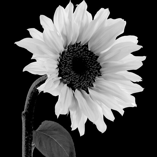 Sunwashed White Sunflower by mindydidit