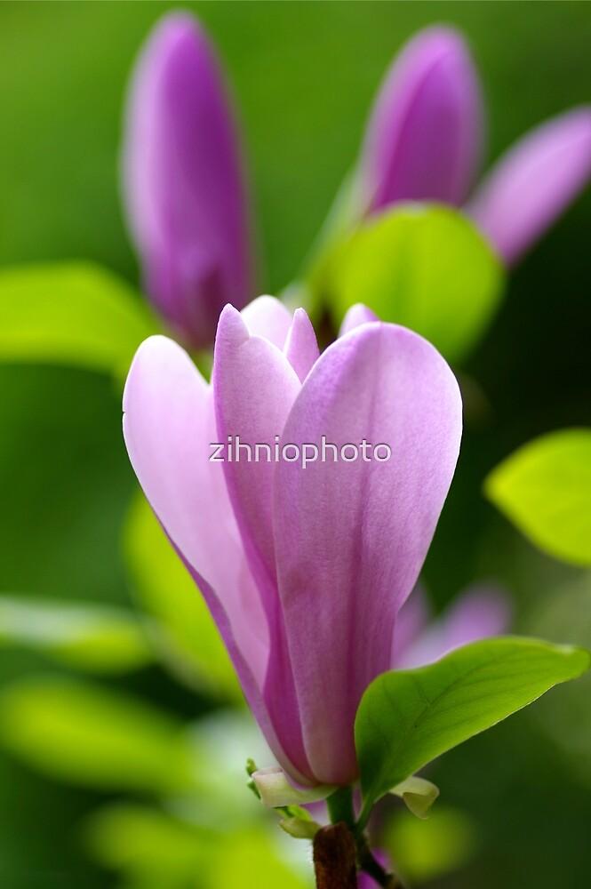Magnolia by zihniophoto