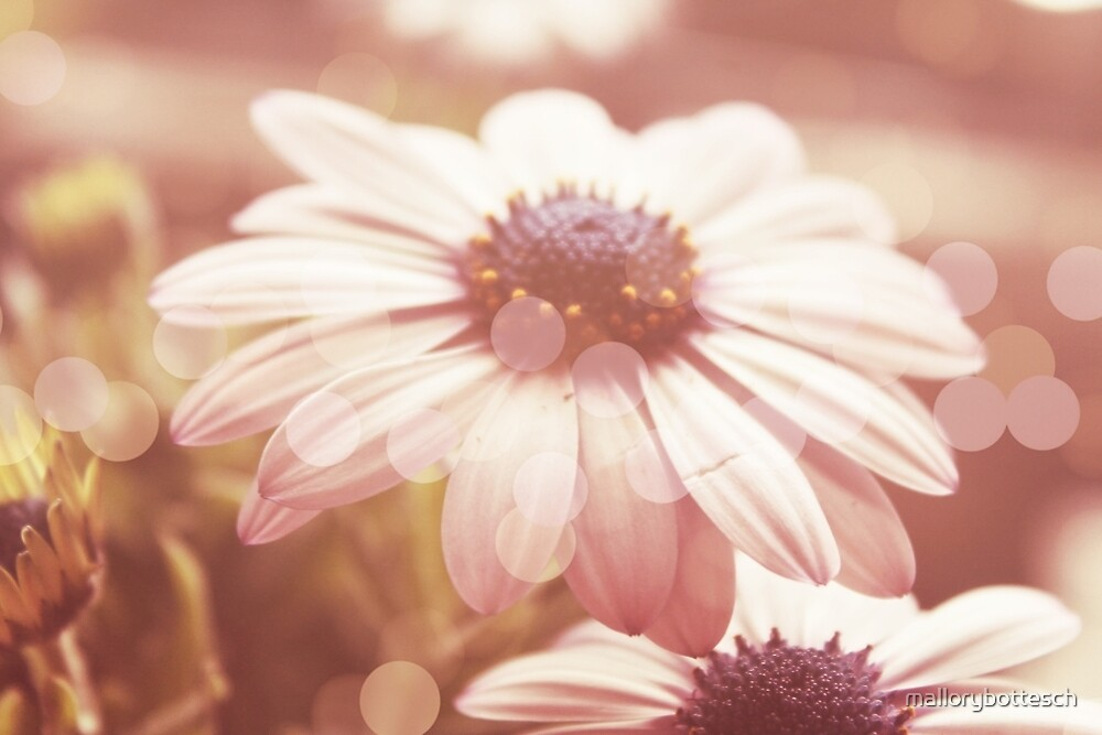 Dreamy Summer Daisies by mallorybottesch