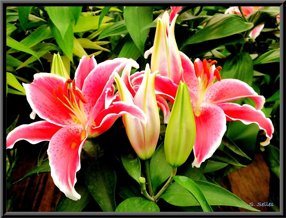 Pink Lily by Steven Selles
