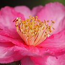 Camellia Flower by Susan Brown