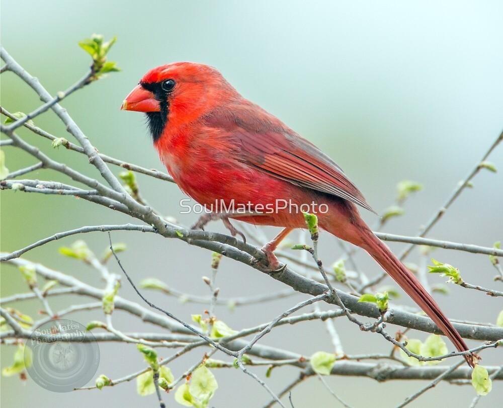 Cardinal by SoulMatesPhoto