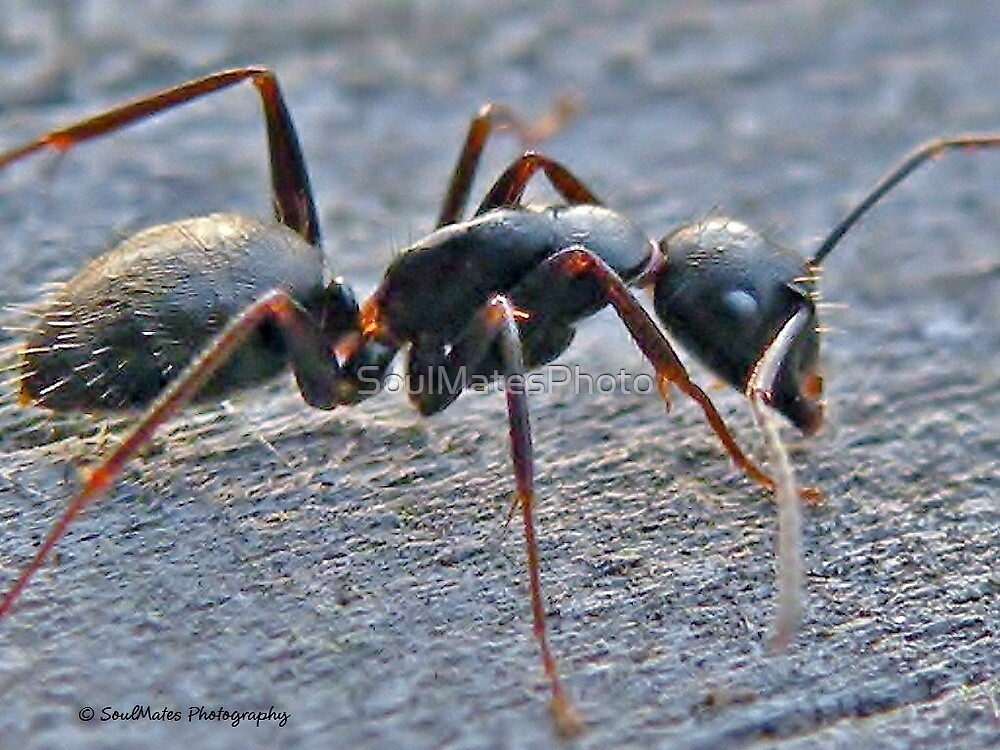 Ant by SoulMatesPhoto