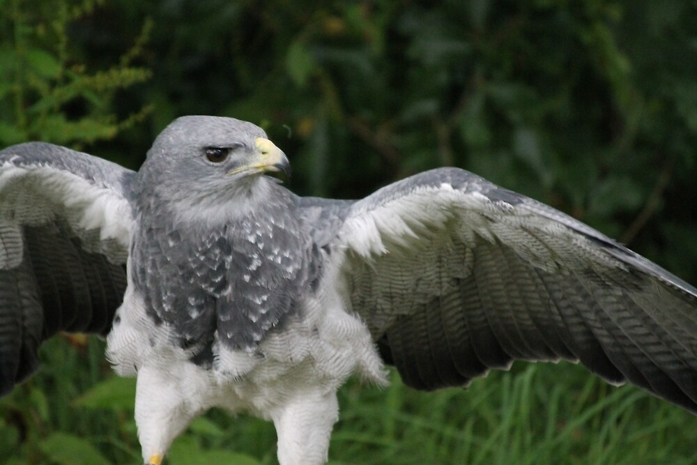 South American Grey Eagle by pixiealice