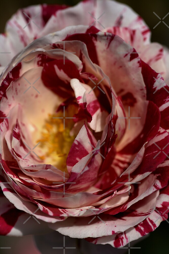 Red & White Variegated Rose by Joy Watson