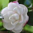 Beautiful Camellia by MissyD