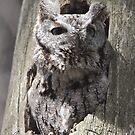 Eastern Screech Owl 02 by DigitallyStill