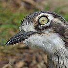 Bush Steinbrachvogel von dilouise