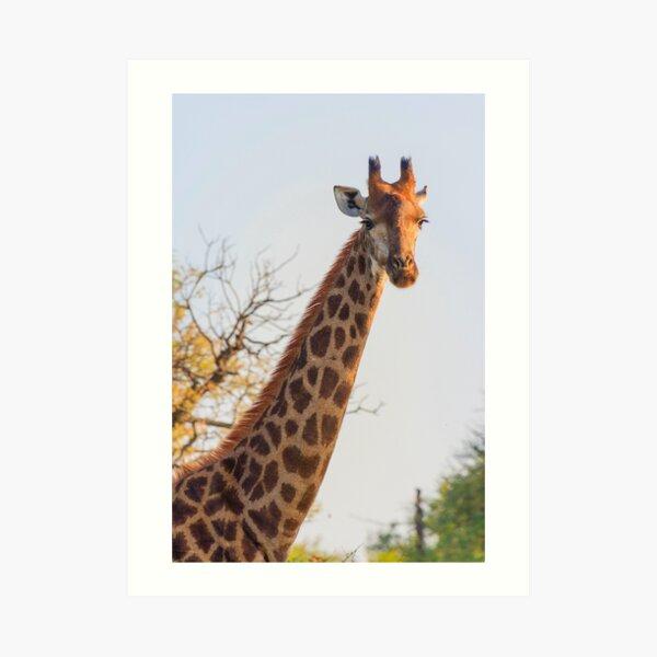 Early Morning Giraffe Portrait Art Print