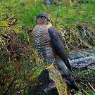 Sparrowhawk #14 by Alexander Mcrobbie-Munro