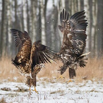 White-Tailed Eagles by domcia