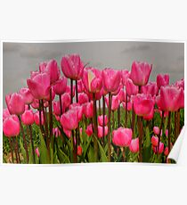 Lovely Pink Tulips on a Grey Day Poster