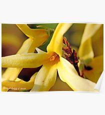 Forsythia flower Poster