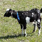 Babe,  My Other Baby Goat by MaeBelle