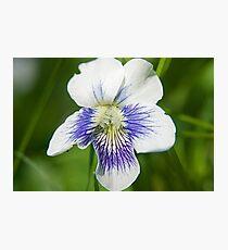 White Wood Violet Photographic Print