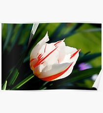Life Tulips Poster