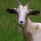 Goat Smile by Barbara Morrison