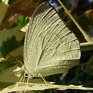 White Migrant Butterfly - Catopsilia pyranthe  by Gabrielle  Lees