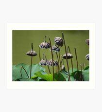 Lotus flower seed pods growing in pond (Japanese Garden) Art Print