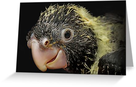 Red-tailed Black-Cockatoo by Tainia Finlay