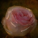 Textured Pink Rose by Digitalbcon