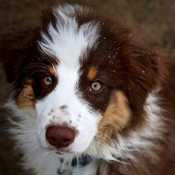 Australian Sheppard Puppy by Photograph2u