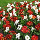 Voices of Spring - Red Primroses and White Hyacinths by BlueMoonRose