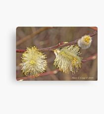 Pussywillow blooms Salix Canvas Print