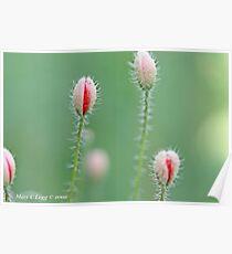 Field poppies, Papaver rhoeas Poster