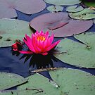 Lily &  Lily  pads   by fiat777