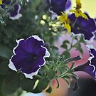 Petunias by Corkle