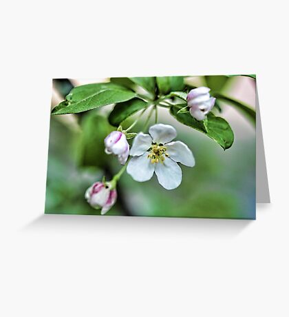 Fragrant Apple Blossoms Greeting Card