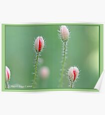 Field poppies, Papaver rhoeas A Poster