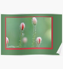 Field poppies, Papaver rhoeas E Poster
