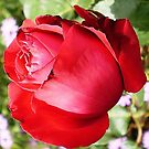Ruby Red Rose  by EdsMum