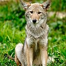 Coyotes - Parc Omega, Montebello, PQ by Tracey  Dryka