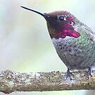 Hummingbird by Betsy  Seeton