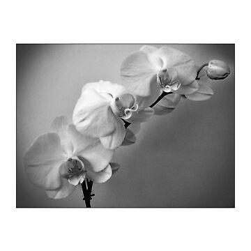 Orchids by MoGeoPhoto