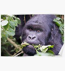Silverback Gorilla - Virunga National  Park Rwanda Poster