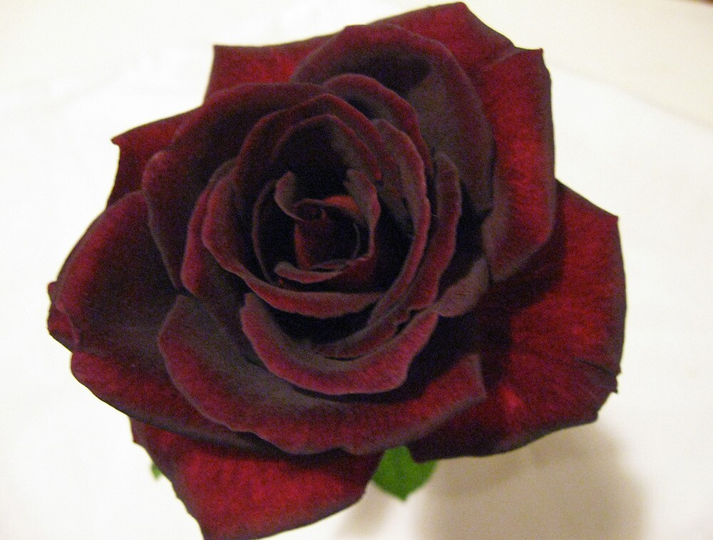Quot Black Prince Rose Quot By Lozzie5243 Redbubble