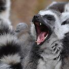 Lemur Yawn by ApeArt