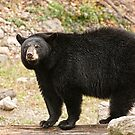 Black bear - Parc Omega, Montebello, PQ by Tracey  Dryka