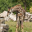 Masai Giraffe (calf) by Tracey  Dryka