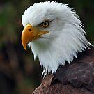 Bald Eagle by Nancy Barrett