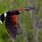 Harris' Hawk in Flight by Nancy Barrett