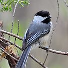 Black-capped Chickadee by Nancy Barrett